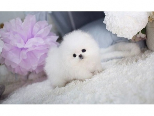 Tea Cup Pomeranian Puppies Available - For Sale hartford Connecticut