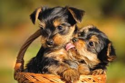 Male And Female Teacup Yorkie Puppies For Adoption Califonia California