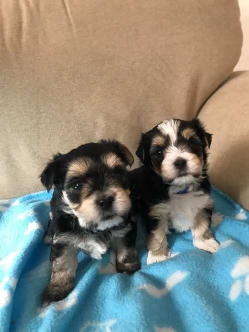 Tiny Teacup Yorkies For Sale Beverly Hillis California