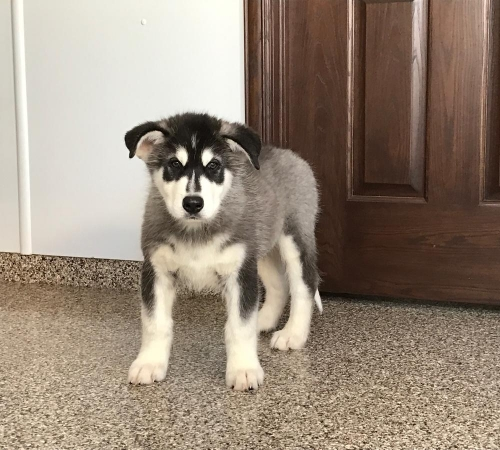 100% Siberian Husky Puppies
