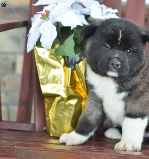 Healthy Akita Inu Puppies For Rehoming
