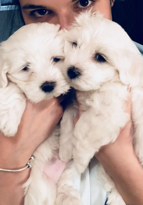 11 Weeks Old Maltese Puppies Avalailble For Sale Des Moines Iowa