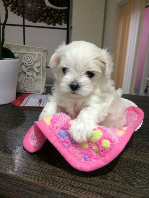Amazing Maltese Puppies Now Available For Sale Utah
