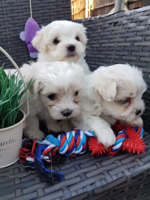 Gorgeous Mf Maltese Teacup Maltese Puppies For Sale 856 500