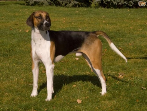Foxhound Available