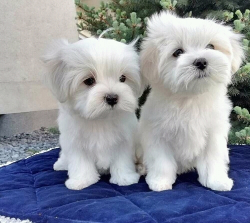 Two Teacup Maltese Puppies Needs A New Family jersey city New Jersey