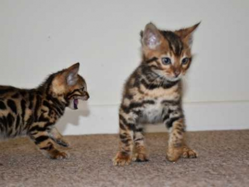 Bengal And Savannah Kittens Available