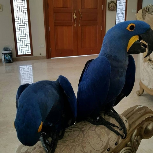 Bonded Pair Hyacinth Macaw Parrots For Sale Including
