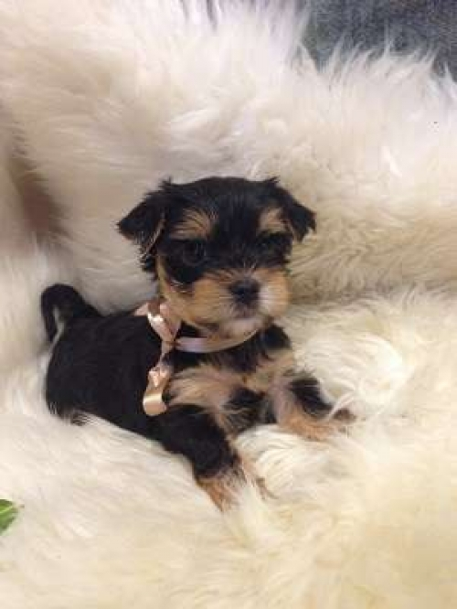 Two Healthy Teacup Yorkie Puppies Ready Now