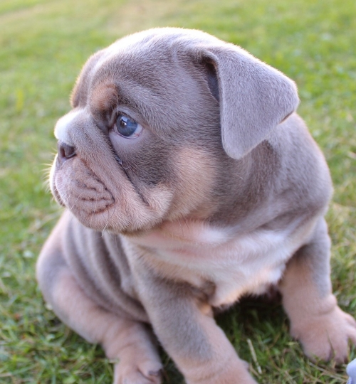 English Bulldog Puppies Available For Adoption. Puppies Are Very