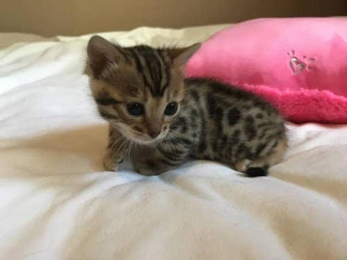 Female Bengal Kitten Ready For Rehoming