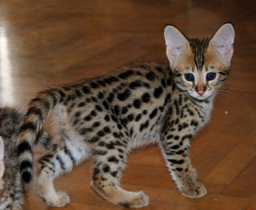 Purebred Savannah Kittens For Sale