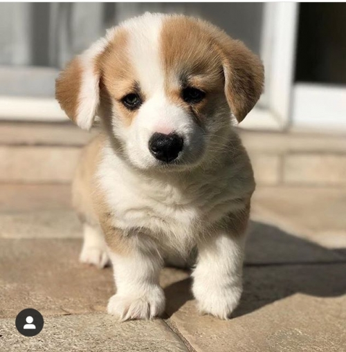 Pure Bred Corgi Puppies Available