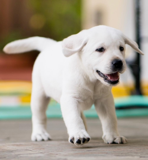 Labrador Puppies For New Home