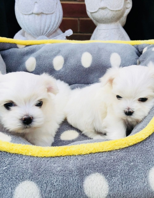 Ready Akc Maltese Puppies For Sale .646 481-0594