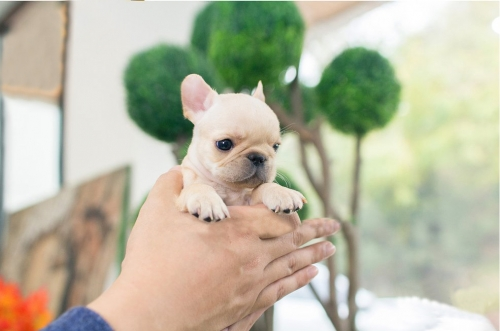 Cute Amazing Frenchie Puppies For Sale
