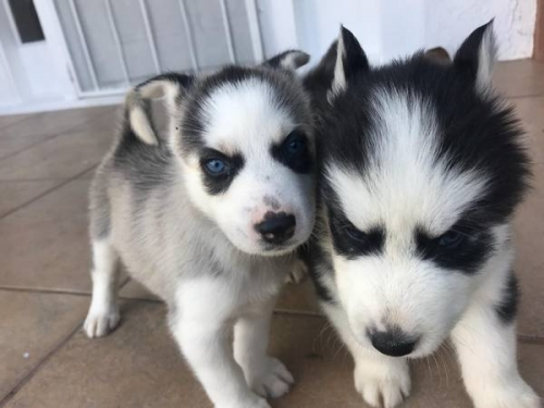 Available Siberian Husky Pups 571 486-1169