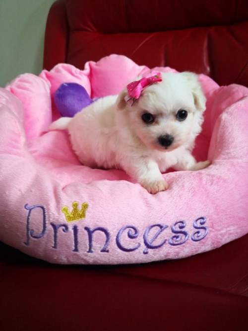 Registered Maltese Puppies For Sale