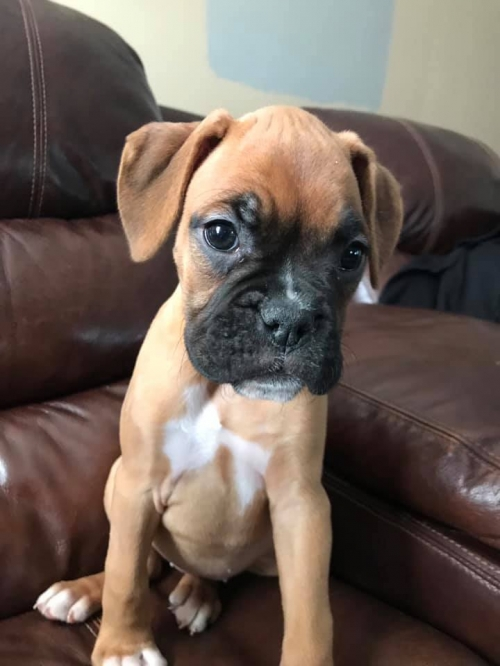 Healthy Boxer Puppies