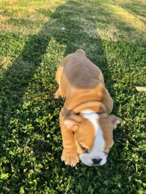 Akc Male And Female Bulldog Puppies