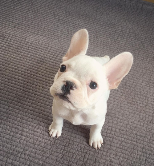 French Bulldog Puppies For Rehoming