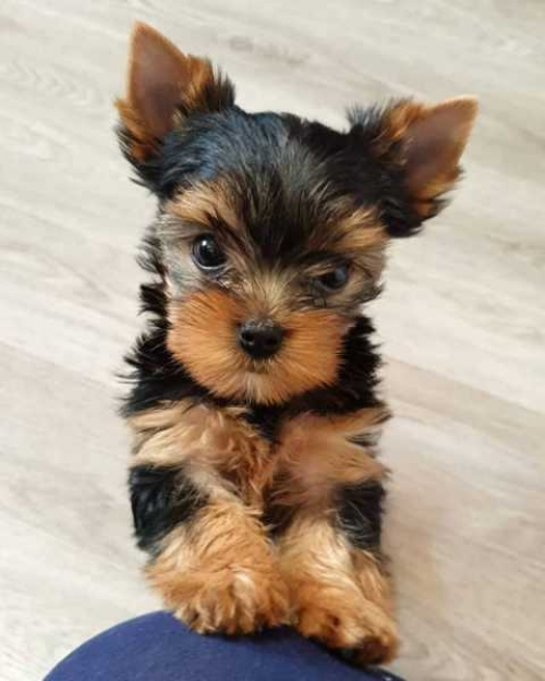 Lovely Yorkie Puppies For Rehoming