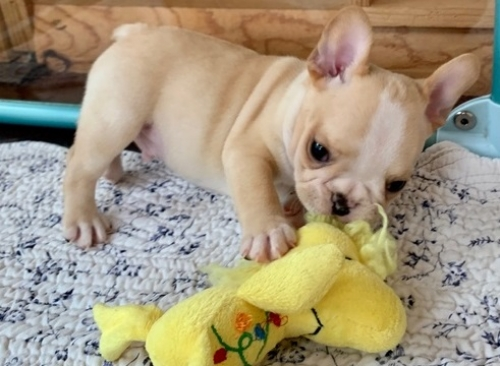 Available AKC French Bulldog Puppies With All Paperwork Ready
