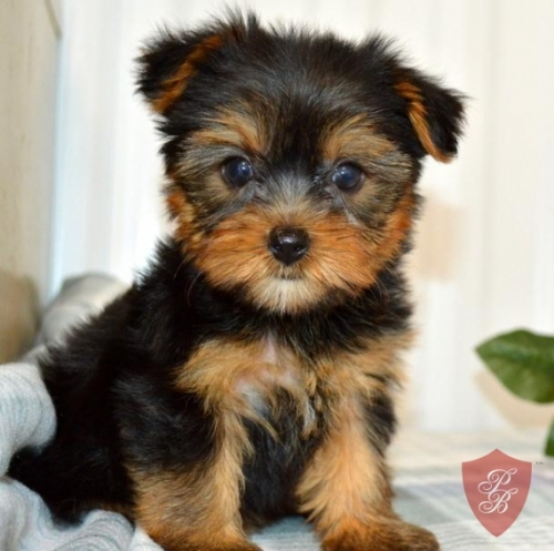 YORKIE PUPPIES AVAILABLE
