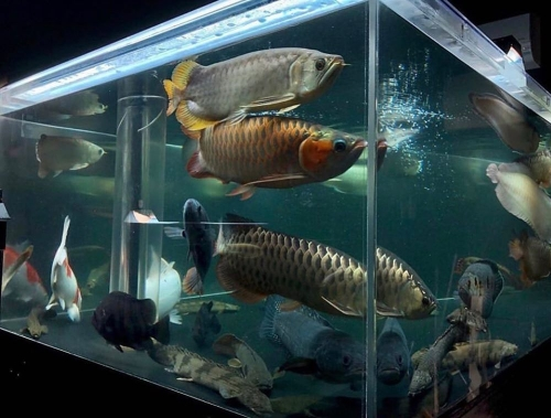 Arowana,guppies And Stink Rays