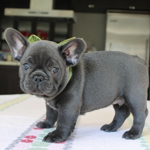 Well Trained French Bulldog Puppies Text 8142739588