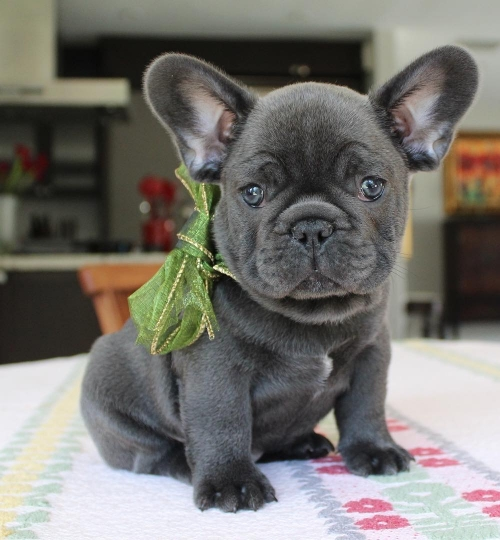 French Bulldog Puppies Available Text 7173225873