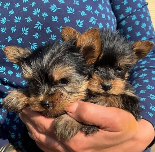 Teacup Yorkie Puppies Text Us 7249132360