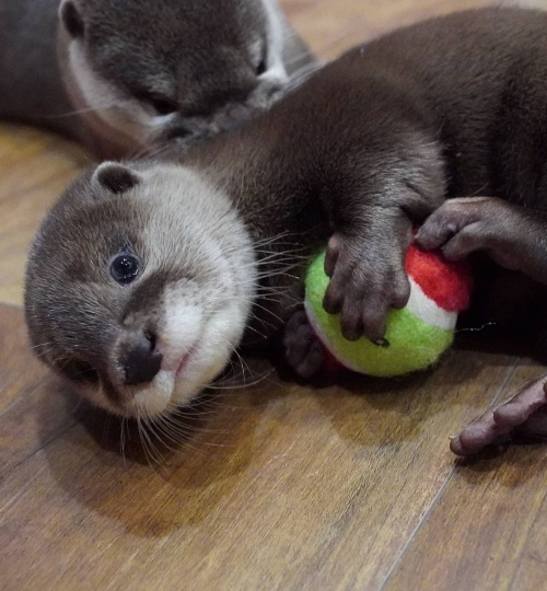 Asian Small Clawed Otters Available