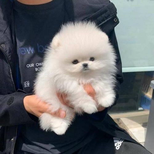 Cute Teacup Pomeranian Puppy Male