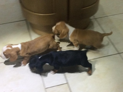 Registered Basset Hound Puppies