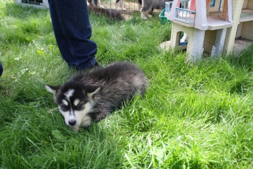 Healthy And Beautiful Alaskan Malamute Puppies