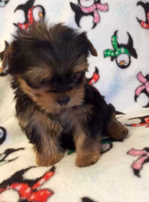Puppies Under 300 Classifieds On Dogs In All For Sale Pets Page 5