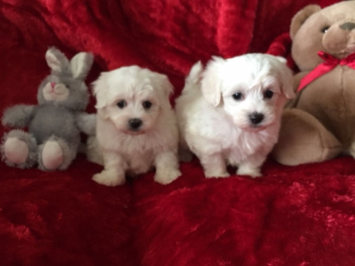 Images For Litter Of Maltese Puppies For Sale