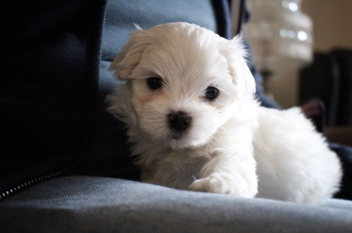 Beautiful Male And Female Maltese Puppies