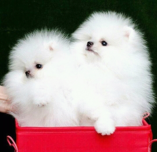 Pomeranian Puppies For Sale Under 300 Classifieds On In All For Sale