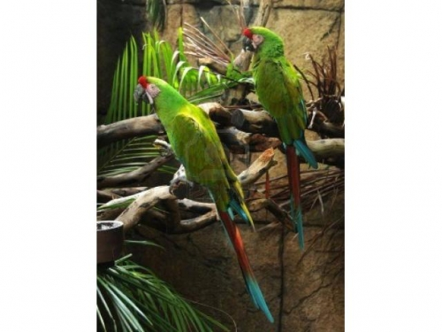 MILLITARY MACAWS FOR SALE