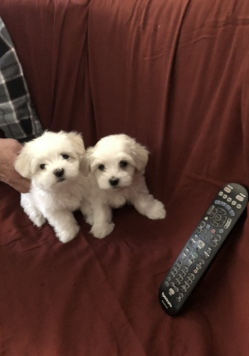 Gorgeous T-Cup Maltese Puppies