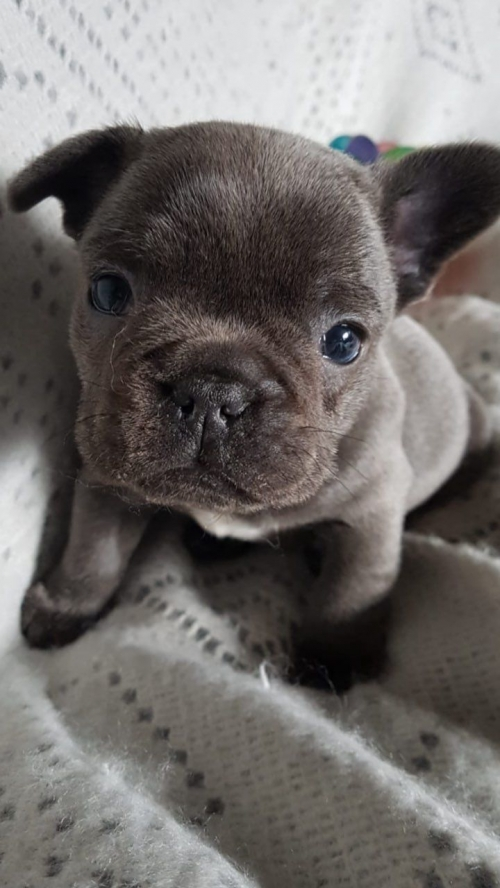 Solid Blue Registered French Bulldog