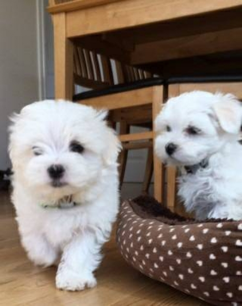 Great Teacup Maltese Puppies