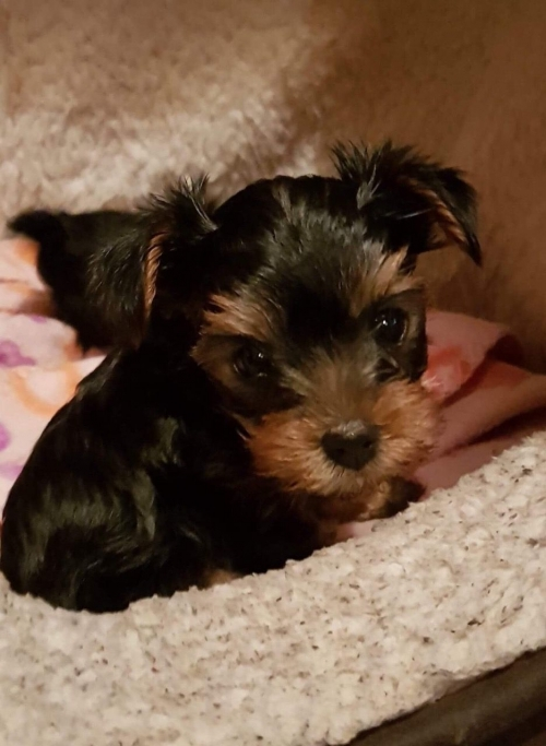 Male And Female Yorkie Puppies. We Have One Female Puppy And One Male Now Available And They Are 13 Weeks Old.