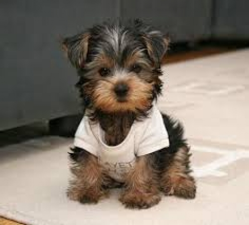 Sweet Gorgeous Teacup Yorkie Puppies