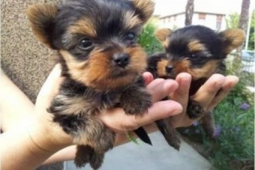 Well Trained Yorkie Puppies - 400.00 US