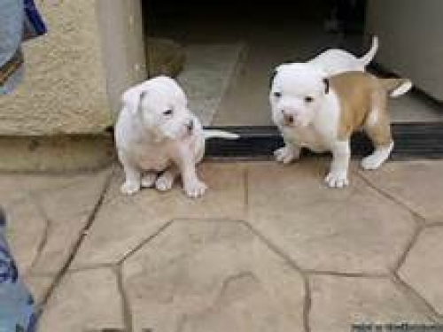 Male And Female Pitbull Puppies