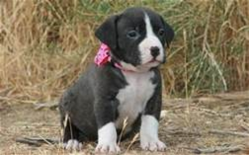 American Pitbull Terrier Puppies Adoption