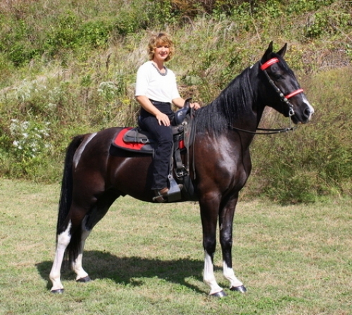 Black Gelding Friesian Horse Ready To Go